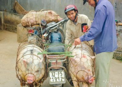 pigs-motorbike-cage-meat-asia