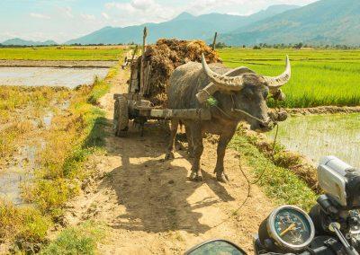 motorbike-buffalo-oxcart-field-vietnam